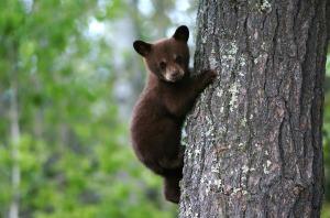 bear-79838